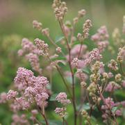 Ceanothus 'Marie-rose' (Large Plant) - 1 x 3.6 litre potted ceanothus plant