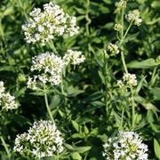Centranthus ruber 'Albus' (Large Plant) - 1 x 1 litre potted centranthus plant