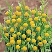Cephalaphora aromatica - 1 packet (40 cephalaphora seeds)