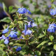 Ceratostigma willmottianum 'Forest Blue' (Large Plant) - 1 x 3.6 litre potted ceratostigma plant