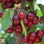 Cherry 'Stella' - 1 maiden cherry tree