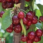 Cherry 'Stella' - 1 maiden cherry tree