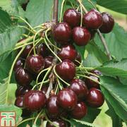 Cherry 'Sunburst' - 1 maiden cherry tree