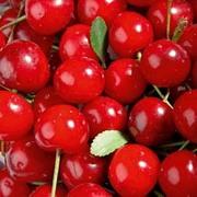Cherry 'Griotella' - 1 maiden cherry tree