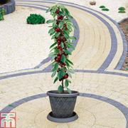 Cherry 'Sylvia' (Mini Fruit Tree) - 1 x 9cm potted cherry plant