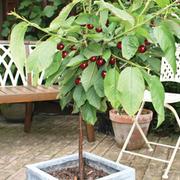 Cherry 'Regina' (patio) - 1 patio cherry tree