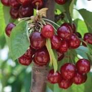 Cherry 'Stella' - 1 bare root cherry tree