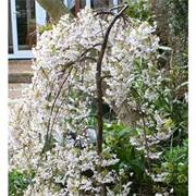 Cherry 'Iford Flowering' - 1 x 1.2m bare root cherry tree
