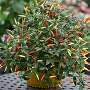 Chilli Pepper 'Basket of Fire' F1 - 1 packet (8 chilli pepper seeds)