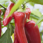 Chilli Pepper 'Inferno' F1 Hybrid (Moderately Hot) - 1 packet (10 chilli pepper seeds)