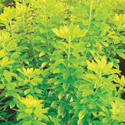 Choisya ternata 'Sundance' (Large Plant) - 1 x 2 litre potted choisya plant