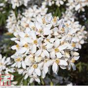 Choisya x dewitteana 'White Dazzler' (Large Plant) - 1 x 3.5 litre potted plant
