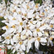 Choisya x dewitteana 'White Dazzler' - 1 x 9cm potted choisya plant