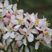 Choisya ternata 'Apple Blossom' - 1 x 3.6 litre potted choisya plant