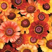 Chrysanthemum carinatum 'Sunset' - 1 packet (200 chrysanthemum seeds)
