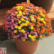 Chrysanthemum 'Hardy Patio Mixed' - 5 chrysanthemum Postiplug plants - 1 of each colour