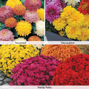 Chrysanthemum 'Bumper Pack' - 15 chrysanthemum Postiplug plants - 5 of each variety