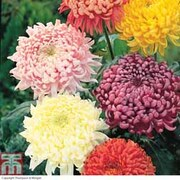 Chrysanthemum 'Incurved Mixed' - 5 chrysanthemum Postiplug plants