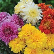 Chrysanthemum 'Decorative Mixed' - 5 chrysanthemum Postiplug plants
