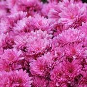 Chrysanthemum x hortorum 'Anastasia' (Large Plant) - 1 x 1 litre potted chrysanthemum plant