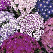 Cineraria 'Dwarf British Beauty Mixed' - 1 packet (40 cineraria seeds)