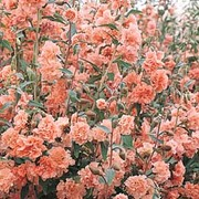 Godetia 'Apple Blossom' - 1 packet (750 godetia seeds)