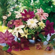 Clematis 'Large-flowered Collection' - 6 clematis jumbo plug plants