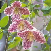 Clematis cirrhosa var. purpurascens 'Freckles' - 1 clematis jumbo plug plant
