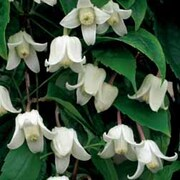 Clematis urophylla 'Winter Beauty' - 1 x 7cm potted clematis plant