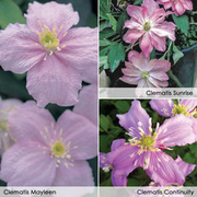 Clematis montana Collection - 3 x 7cm potted clematis plants - 1 of each variety