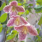 Clematis cirrhosa var. purpurascens 'Freckles' - 1 x 2.5 litre potted clematis plant