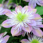 Clematis 'Crystal Fountain' - 1 x 2.5 litre potted clematis plant