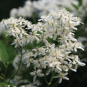 Clematis flammula (Large Plant) - 1 x 2.5 litre potted clematis plant