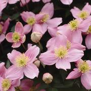 Clematis 'Elizabeth' (Large Plant) - 1 x 2.5 litre potted clematis plant