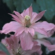 Clematis 'Broughton Star' - 1 x 3 litre potted clematis plant