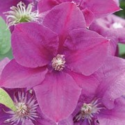 Clematis 'Rahvarinne' (Large Plant) - 1 x 3 litre potted clematis plant