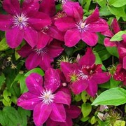Clematis 'Remembrance' (Large Plant) - 1 x 3 litre potted clematis plant
