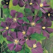 Clematis 'Étoile Violette' - 1 x 3 litre potted clematis plant