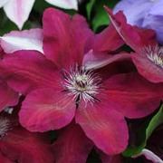 Clematis 'Westerplatte' - 1 x 3 litre potted clematis plant