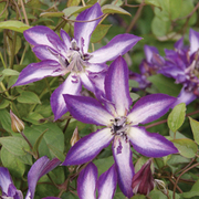 Clematis 'Astra Nova' - 1 x 7cm potted clematis plant