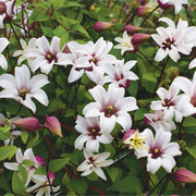 Clematis 'Princess Kate' Collection - 1 x Clematis 'Princess Kate' Tower Pot Collection