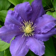 Clematis Chevalier™ evipo040 - 1 x 3 litre potted clematis plant