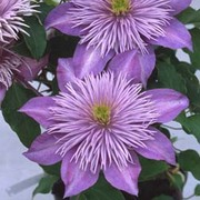 Clematis Crystal Fountain™ evipo038 - 1 x 3 litre potted clematis plant