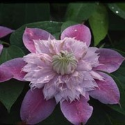 Clematis Josephine™ evijohill - 1 x 3 litre potted clematis plant
