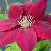 Clematis Rebecca™ evipo016 - 1 x 3 litre potted clematis plant