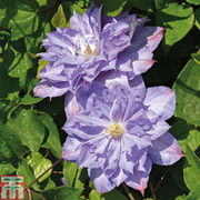 Clematis 'Blue Explosion' - 1 x 9cm potted clematis plant