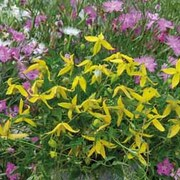 Clematis 'Helios' - 1 packet (100 clematis seeds)