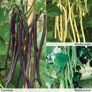Climbing Bean 'Colourful Collection' - 12 climbing bean jumbo plug plants - 4 of each variety