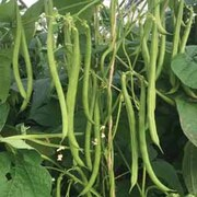 Climbing Bean 'Mamba' - 1 packet (45 climbing bean seeds)