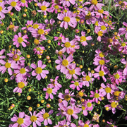 Coreopsis rosea 'American Dream' (Large Plant) - 1 x 3.5 litre potted coreopsis plant